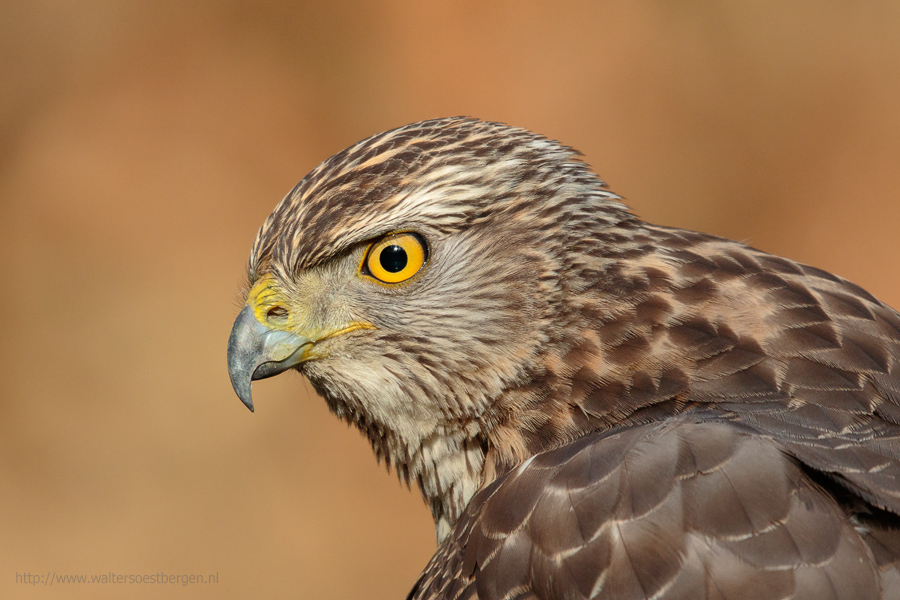 Northern Goshawk, Havik