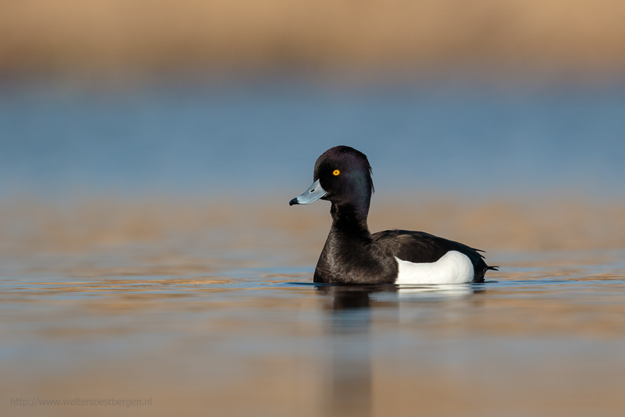Tufted Duck male low point of view