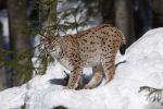 Lynx_13