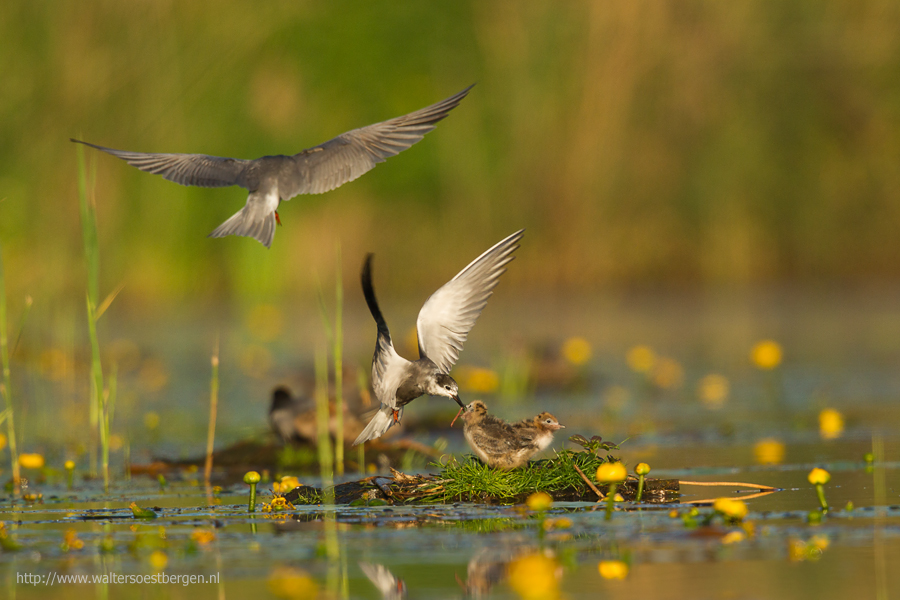 Black Tern feeding juvenile