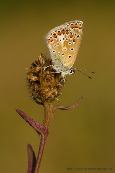 Common Blue_25