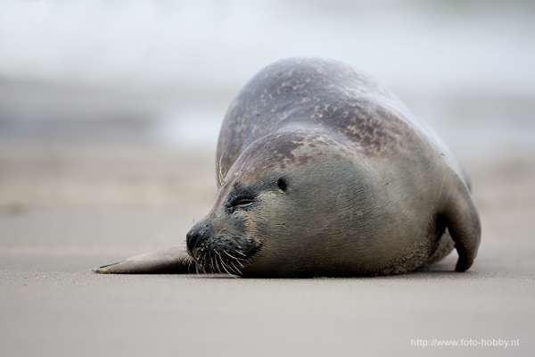 Common Seal_10