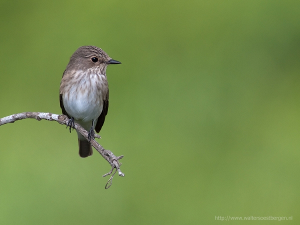 Spotted Flycatcher_8