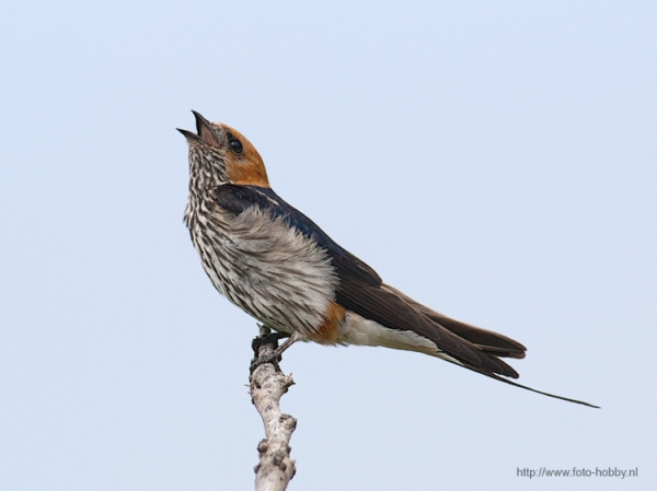 Lesser striped Swallow_44