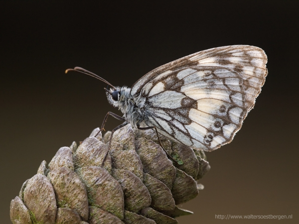 Marbled White_13