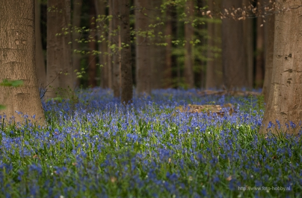 Common Bluebell_7
