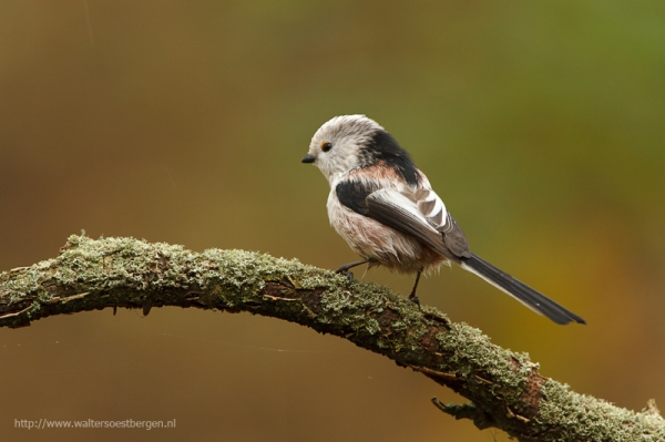 Long Tailed tit (UHR)