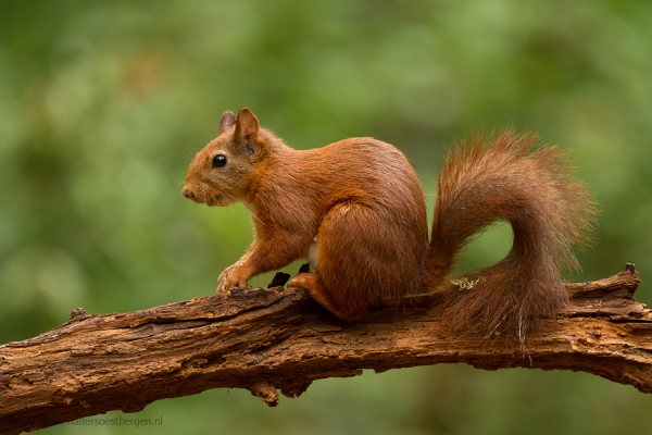 Red Squirrel (UHR)